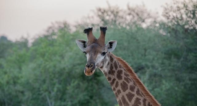 Giraff of Africa